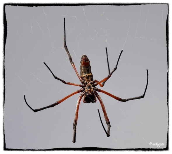 Red-legged Golden Orb-web Spider, Nephila sumptuosa...