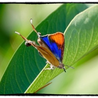 Oman butterfly diary 6- Myrina silensus, Fig Blue…