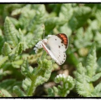 Oman butterfly diary 5- Colotis Danae, The Scarlet Tip…